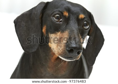 Close-up portrait of Dachshund dog breed