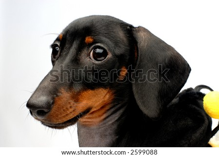 Close-up portrait of dachshund puppy side view