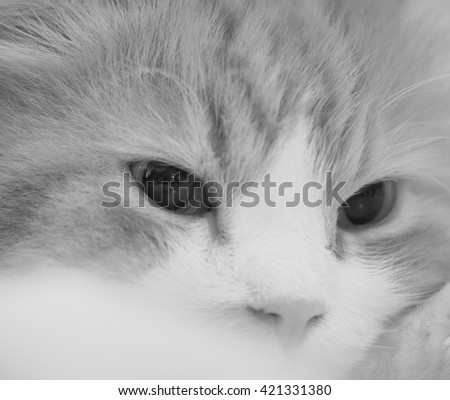 Close Up Portrait of Doll Face Persian Cat in Black White  - stock photo