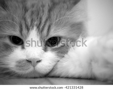 Close Up Portrait of Doll Face Persian Cat in Black White with Arm Sticking Out - stock photo