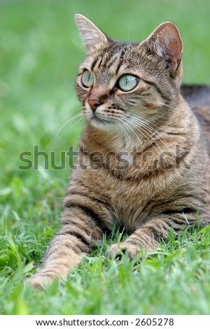 close up portrait of domestic cat with unusually large eyes laying on grass