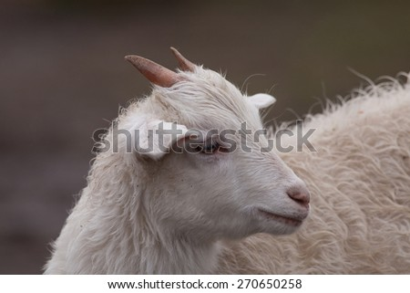 close-up portrait of domestic small white goat  (Capra hircus)