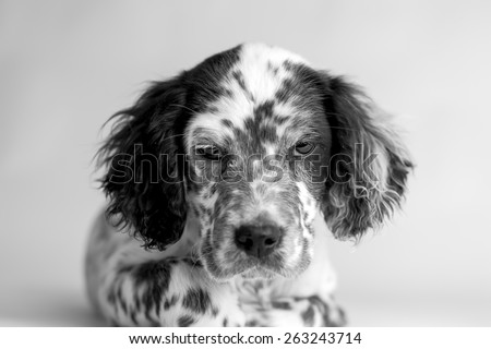 Close up portrait  of english setter puppy  dog. White background, black and white picture - stock photo
