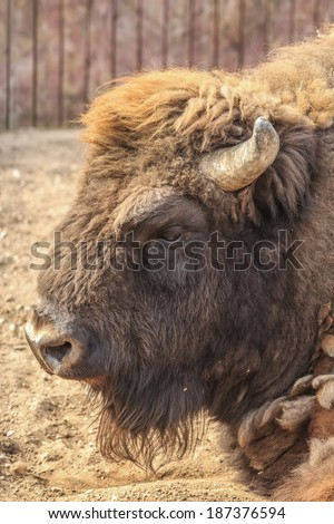 Close-up portrait of European bison in zoo - stock photo