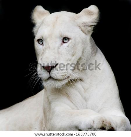 Close-up portrait of female lion - stock photo
