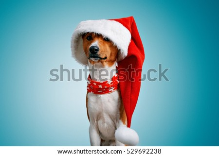Close up portrait of funny beautiful dog wearing oversized big christmas santa hat looking on camera, isolated on winter blue background