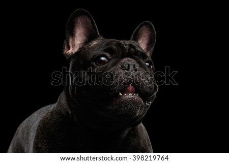 Close-up Portrait of Funny Smiled French Bulldog Dog and Curiously Looking, Front view,  Isolated on black background - stock photo