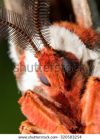 close up portrait of giant silk moth face
