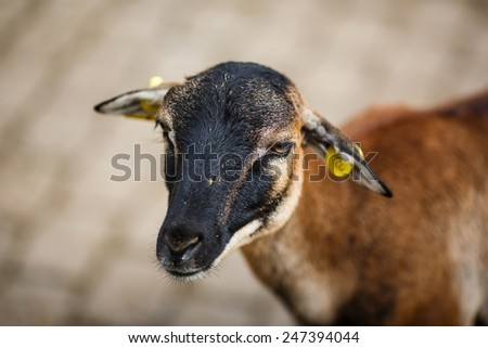 Close-up portrait of goat on the grey background - stock photo