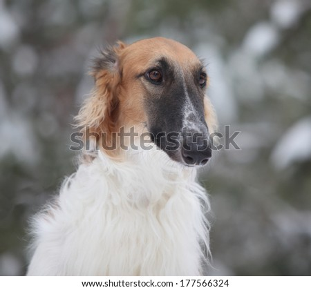 close-up portrait of graceful greyhound red-white color on a background of snow and trees in the pine forest frosty morning