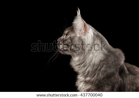 Close-up Portrait of Gray Maine Coon Cat Looks Curious Isolated on Black Background, Profile view - stock photo