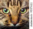 Close-up portrait of green-eyed Siberian cat - stock photo