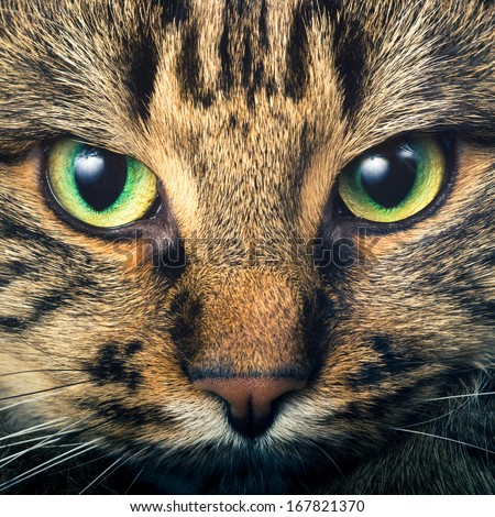 Close-up portrait of green-eyed Siberian cat - stock photo