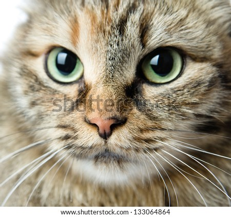 Close-up portrait of green-eyed Siberian cat. looking at camera - stock photo