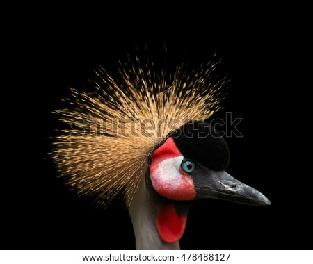 Close up portrait of Grey crowned crane, Balearica regulorum, african bird with crown of stiff golden feathers, looking right, isolated on black background.Uganda, Africa
