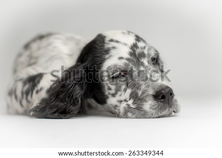 Close up portrait of head of puppy dog. Black and white fur - stock photo