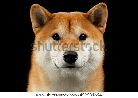 Close-up Portrait of head Shiba inu Dog, Looks Curious in Camera, Isolated Black Background, Front view, Sad Eyes - stock photo