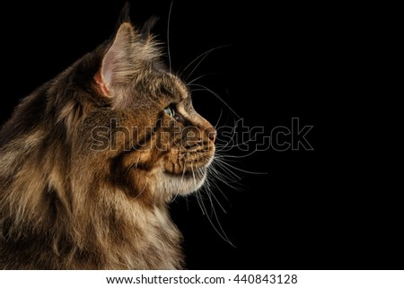 Close-up Portrait of Huge Maine Coon Cat Looking up Isolated on Black Background, Profile view - stock photo