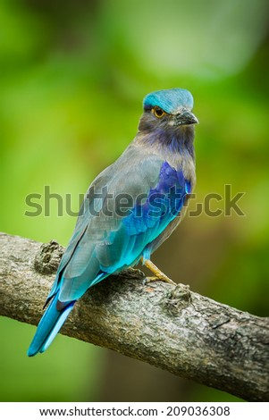 Close up portrait of Indian roller(Coracias benghalensis) turn her head in nature of Thailand  - stock photo