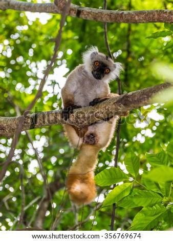 Close up portrait of lemur gaze on Lokobe Strict Nature Reserve in Nosy Be, Madagascar, Africa - stock photo