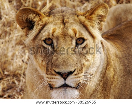 close up portrait of lioness
