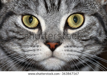Close-up portrait of marble british cat