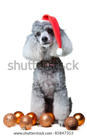Close-up portrait of obedient small gray poodle with red christmas cap and leather collar celebrating new year holiday on isolated white background - stock photo
