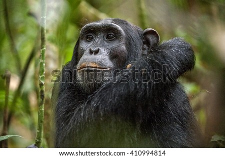 Close up portrait of old chimpanzee Pan troglodytes resting in the jungle of Kibale forest in Uganda. Africa