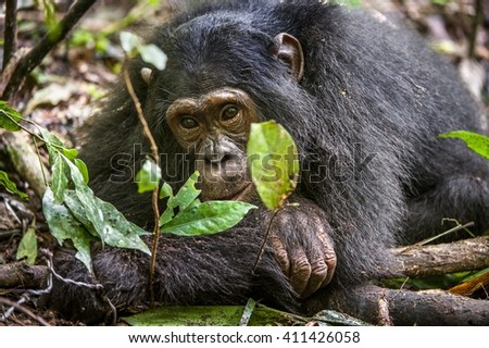 Close up portrait of old chimpanzee Pan troglodytes resting in the jungle of Kibale forest in Uganda. Africa    - stock photo