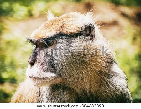 Close up portrait of Patas monkey (Erythrocebus patas). Animal scene. Wild animal. - stock photo