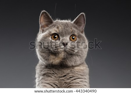 Close-up Portrait of Plush Gray British Cat Curious Looking in Camera on Dark Background, Front view - stock photo