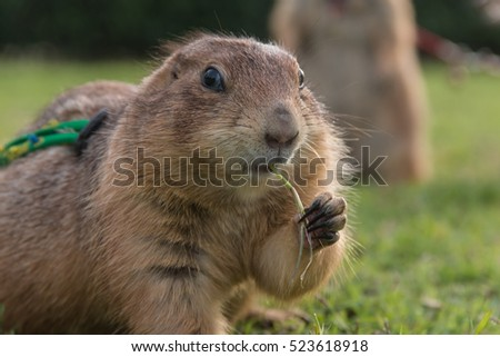 Close up portrait of prairie dog eating grass.