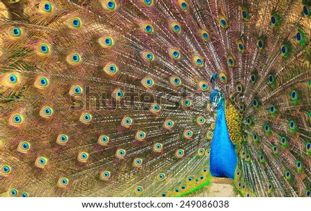 Close up Portrait of Proud beautiful green peacock with feathers out - stock photo
