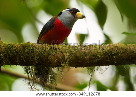 Close up portrait of  red chested Toucan Barbet Semnornis ramphastinus perched on mossy branch under canopy of ecuadorian cloud forest. Blurred green background.