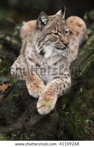 Close-up portrait of resting Eurasian Lynx (Lynx lynx) - stock photo