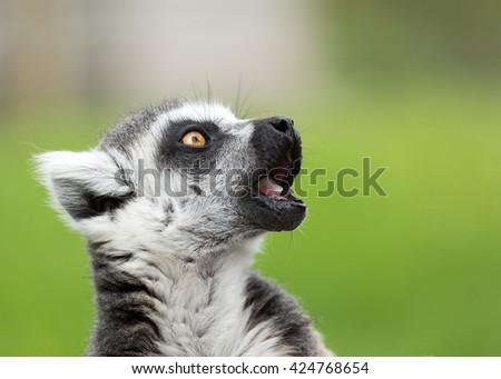 Close up portrait of ring tailed lemur - stock photo