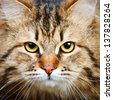 Close-up portrait of  Siberian cat - stock