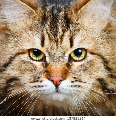Close-up portrait of  Siberian cat - stock photo