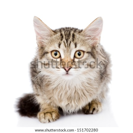Close-up portrait of  Siberian cat. looking at camera. isolated on white background