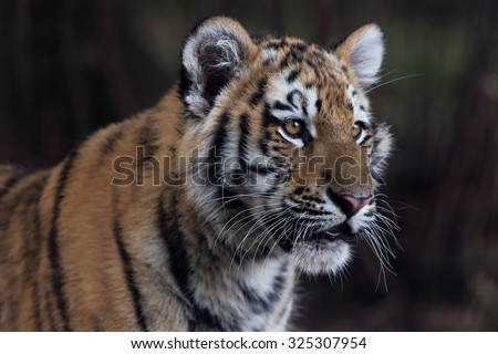 Close up portrait of Siberian Tiger Cub/Amur Tiger Cub/Siberian Tiger Cub(Panthera Tigris Altaica) - stock photo