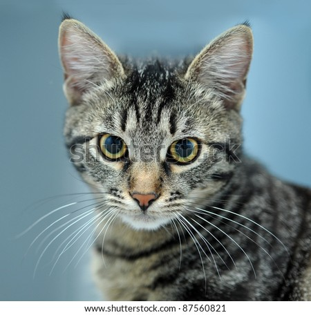close-up portrait of striped cat isolated - stock photo