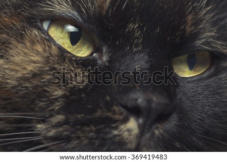 Close-up portrait of Thai cat with yellow eyes