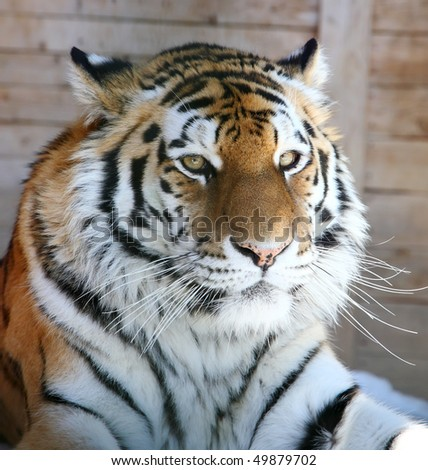 close-up portrait of the big tiger - stock photo