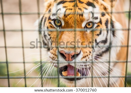 Close up portrait of the endangered bengal tiger looking through the cage living in captivity in an European zoo - stock photo