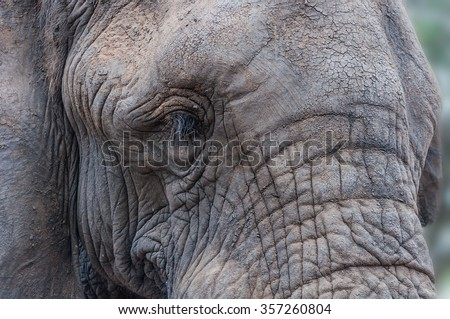 Close-up portrait of the face of an African elephant - stock photo