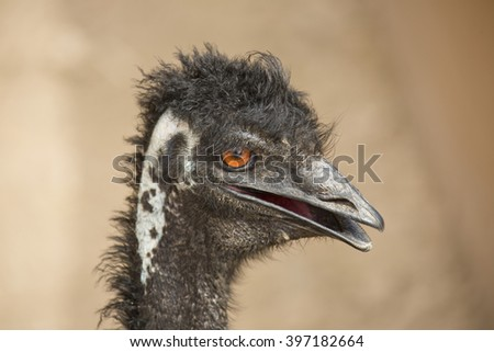 Close up portrait of the funny or humorous expression on the face of a flightless Australian emu (Dromaius novaehollandiae) with big orange eyes having a bad hair day - stock photo
