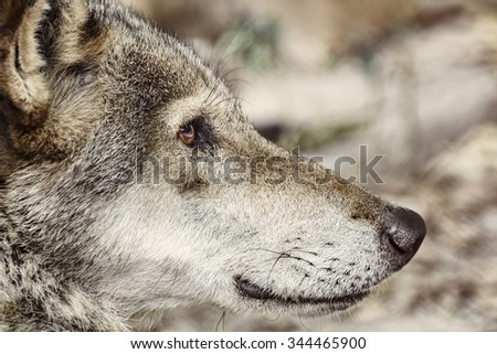 Close up Portrait of the Grey Wolf - stock photo