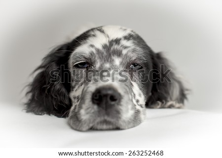 Close up portrait of the head of english setter puppy dog.White background - stock photo