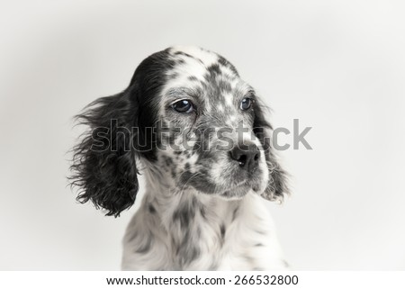 Close up portrait of the head of spotted english setter. White background - stock photo