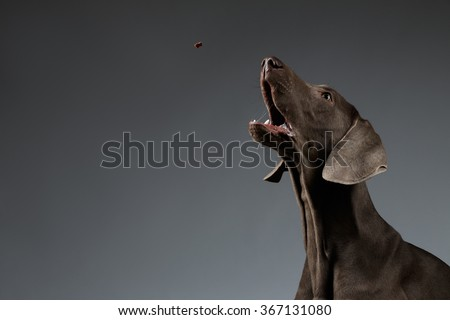Close-up Portrait of Weimaraner dog catching food on white gradient background - stock photo
